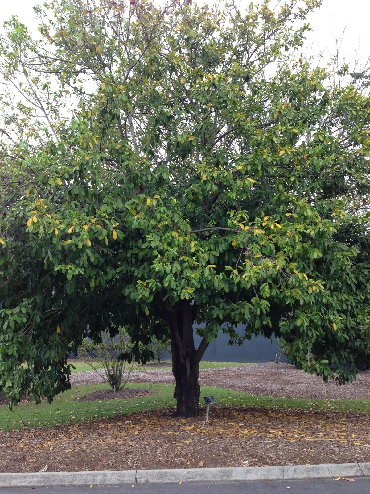 Daleys Fruit Tree Blog: Soursop Tree for Sale in Australia