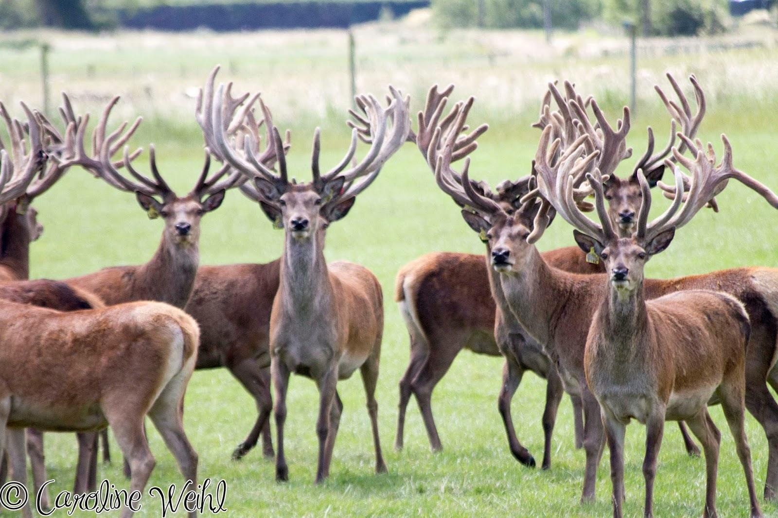 NZ Red Deer