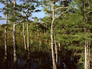 dwarf cypress forest everglade (13)