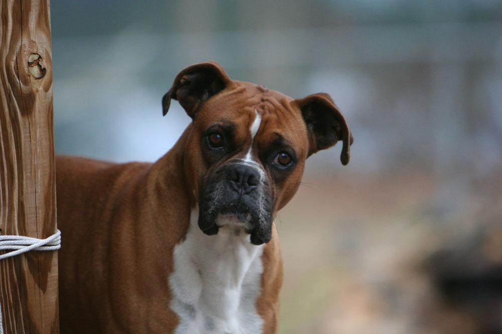 Boxer Dog Perfect HD W...