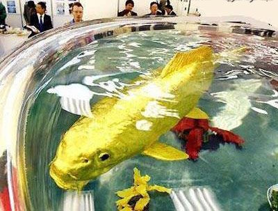 World's Biggest Gold Fish