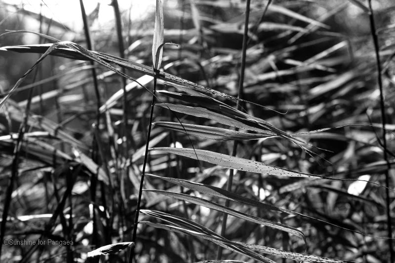 Reed, black and white photography