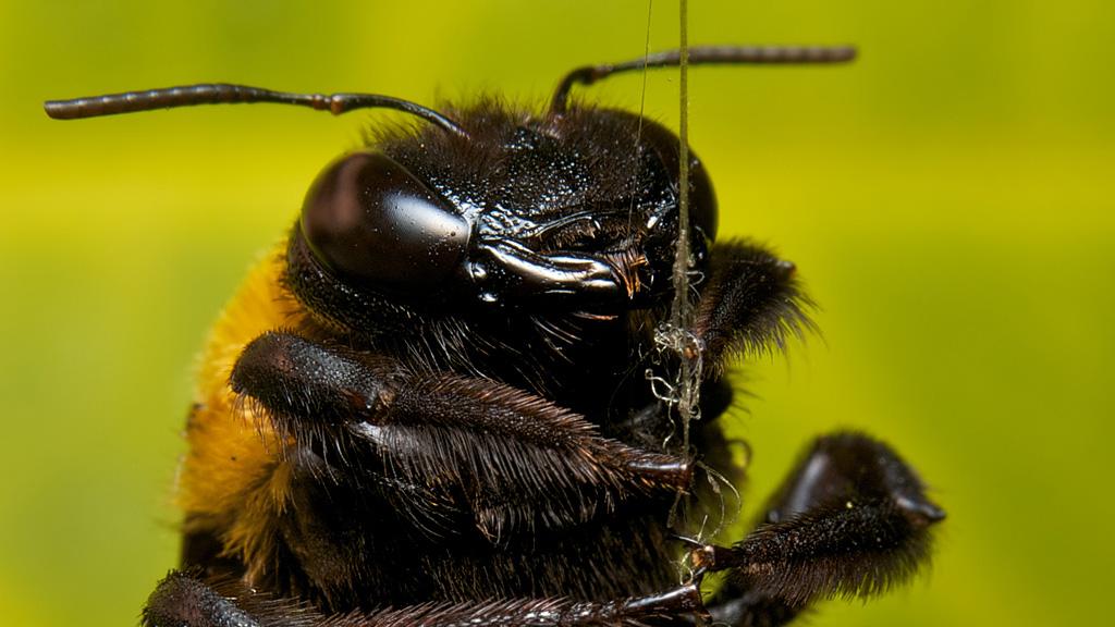 クマバチの画像 p1_37