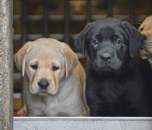 Yellow and black lab puppies looking out from kennel