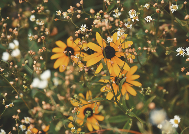 The Flying Clubhouse: June Dreams // black-eyed susans