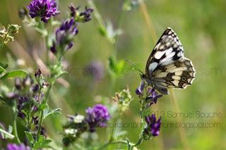 papillon demi-deuil et fleur qui vole papillon noir et blanc