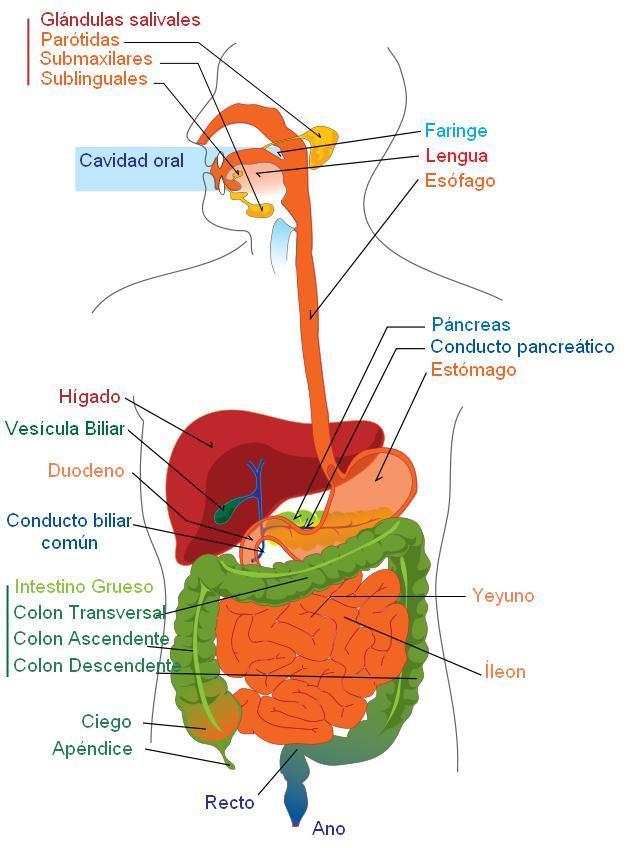 Aparato Digestivo 940373jpeg