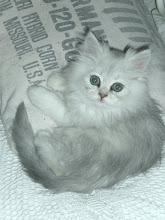 Unser Tuppy~White Silver Perser
