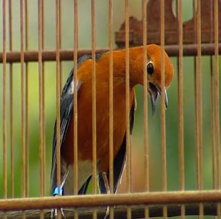 Burung Berhenti Berkicau atau Macet Bunyi