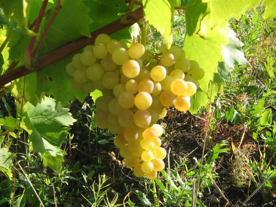 Какие сорта винограда лучше сажать на алтае 65