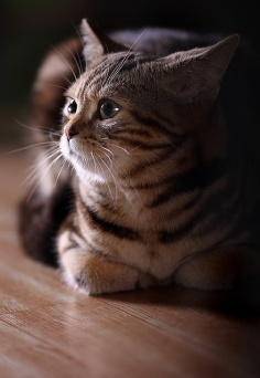 Grooming of American Shorthair Cats