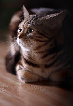Grooming of American Shorthair Cats