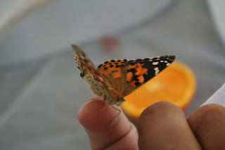 Painted Lady butterfly :: All Pretty Things