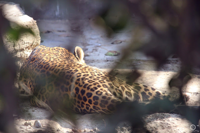 leopard, Ssshhhhh....Do Not Disturb, Shashank Mittal Photography, Shashank Mittal, Photography, Shashank, Mittal,