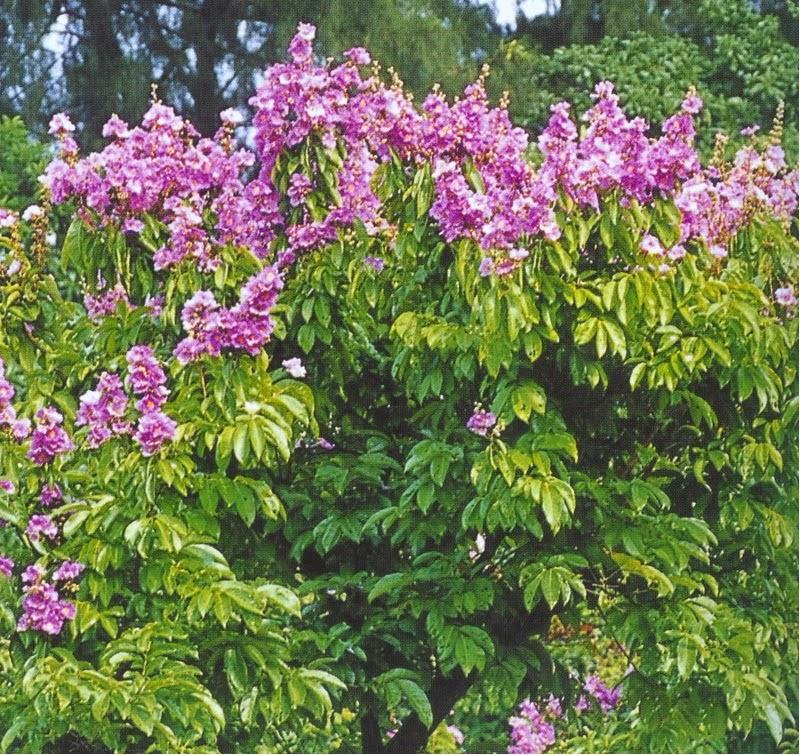 Jual pohon bungur | tanaman pelindung | tanaman hias | jasa desain taman