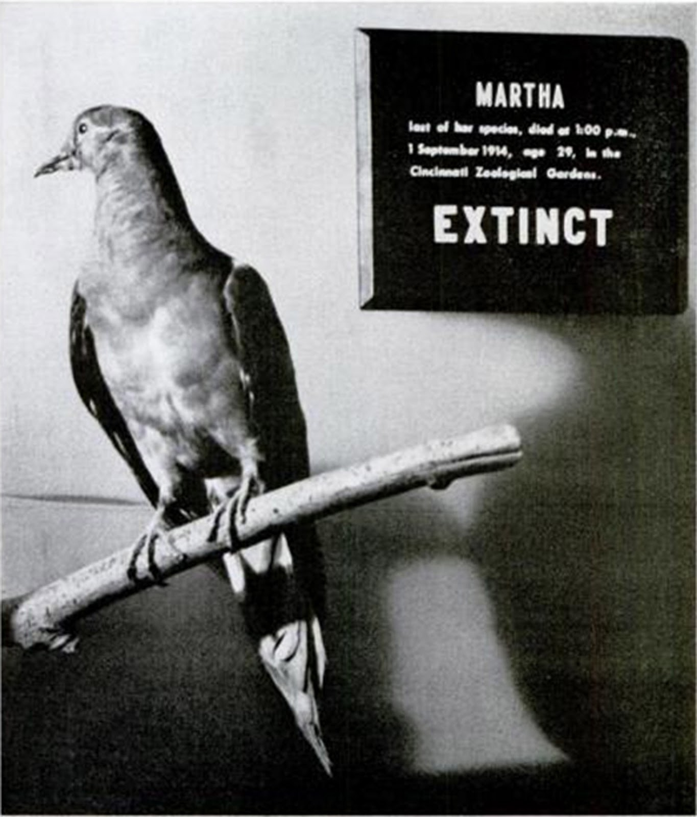 human impact on passenger pigeons When the last passenger pigeon died at a zoo in 1914, the species became a cautionary tale of the dramatic impact humans can have on the world.