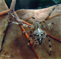 Araña de la cruz (Araneus diadematus)
