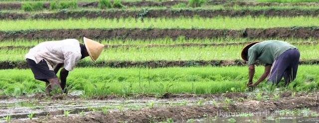 Masa tanam padi di Nanggulan Kulon Progo
