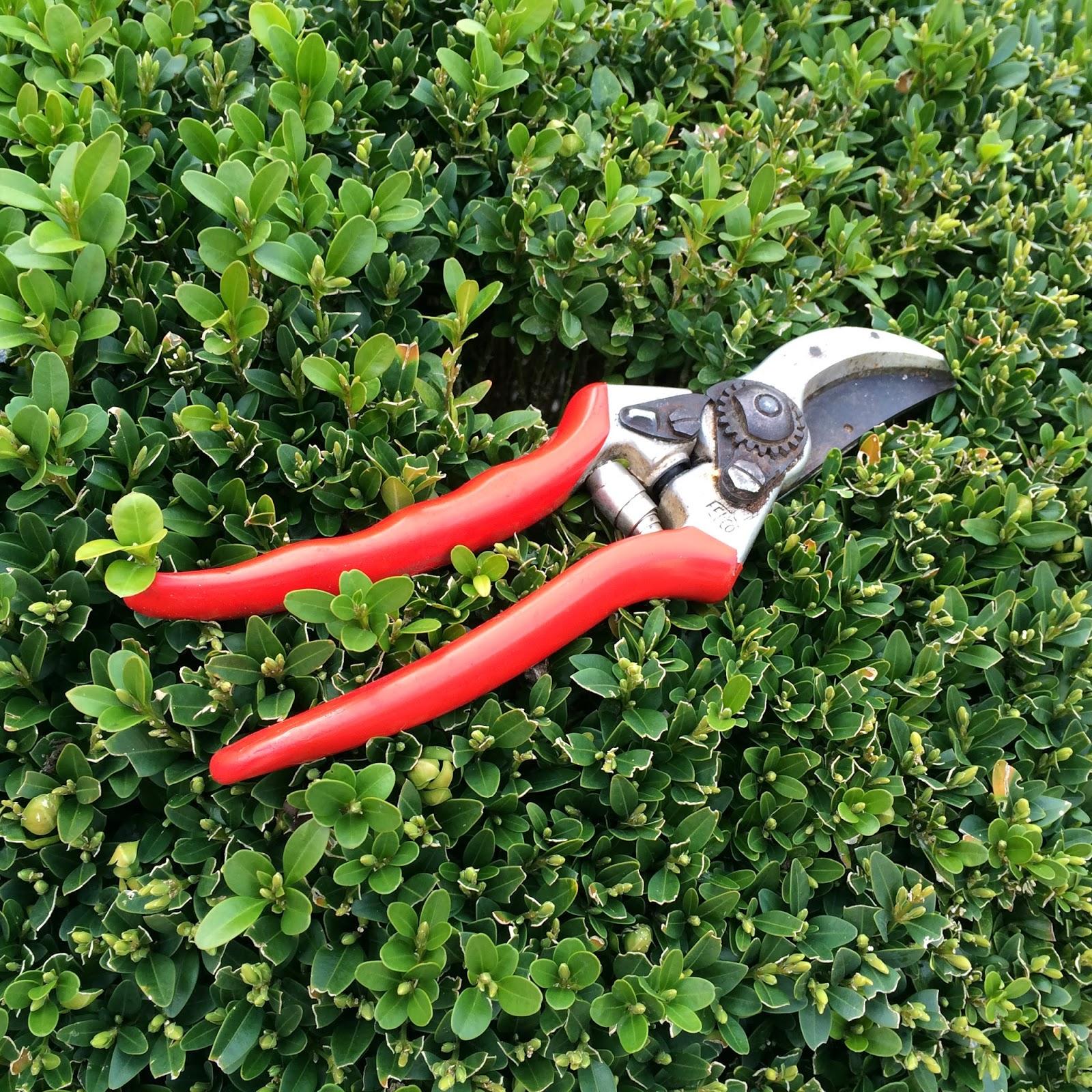 La passion des rosiers la p pini re fil roses taille des rosiers quand pourquoi comment - Comment couper un rosier ...