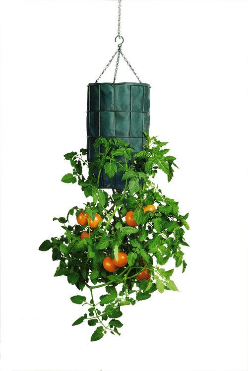 Je suis au jardin faire pousser des tomates l 39 envers - Comment faire pousser des tomates ...