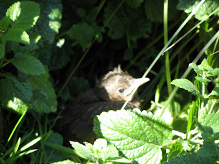 Baby Blackbird in Lemon Balm