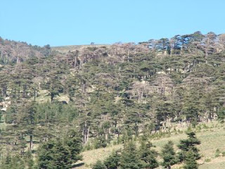 The prolonged drought in northwest Africa from 1999-2002 killed many Atlas cedar trees. This photo is from a site in Algeria where tree-ring researcher Ramzi Touchan took samples to develop a drought history of the region. The trees, also known as Cedrus atlantica, are native to the Atlas Mountains of northwest Africa.