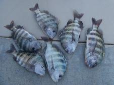 "Nice Fish ""Sheephead"" (211)"