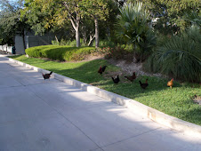 Chickens of Key West...everywhere