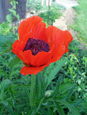 First Poppy (236)