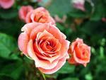 mawar pernikahan