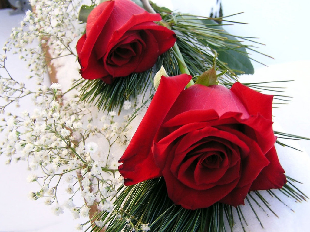 cool daily pics: only red roses high quality wallpapers