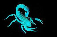 Avatare scorpions