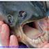 Ikan yang Mempunyai Gigi & Lidah Mirip Manusia