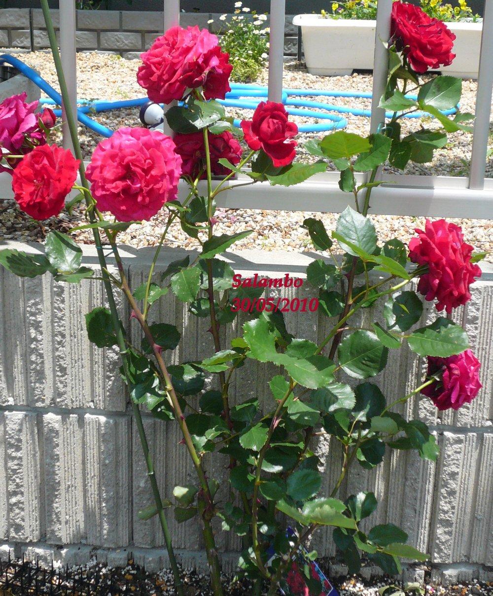 Minhas Rosasminhas floresmeu jardim variedades de rosas e suas