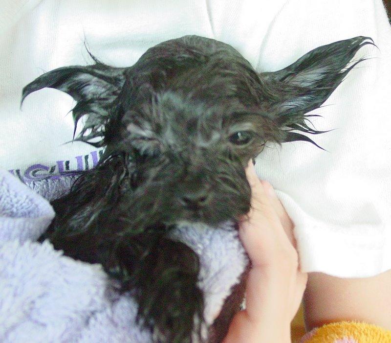 [puppy_bath_yorkie_morkie_mooshu_5jpg.jpg]
