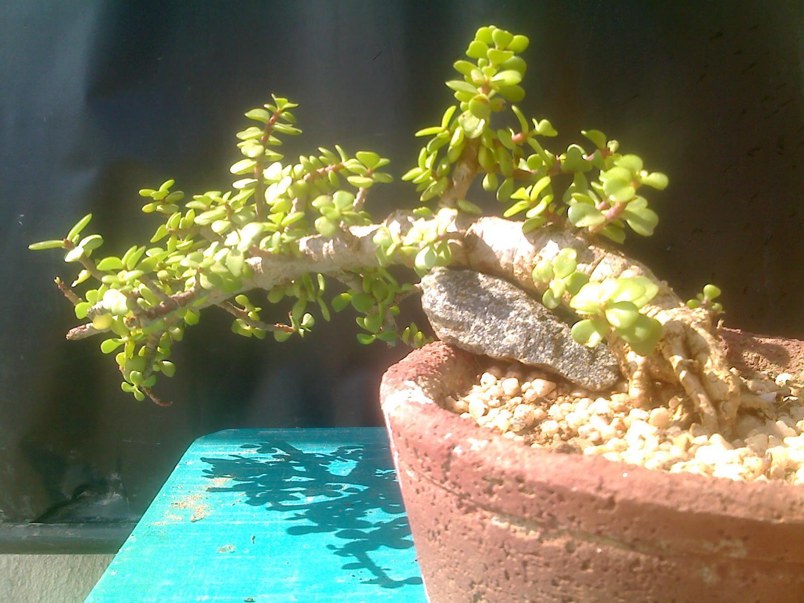 Indian Bonsai The Mame Jade And Pomgranate Bonsai39s