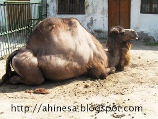 одногорбный верблюд