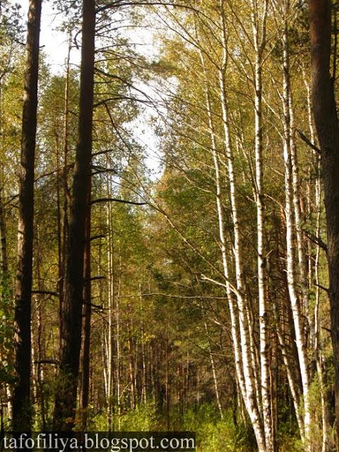 лес, деревья, природа, стволы