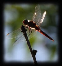 Dragonfly Totem