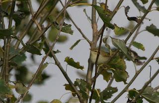 spurvehøg jaget af due