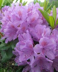 Rhododendron grandiflorum