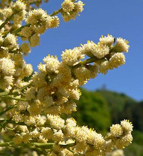 Baccharis articulata en flor