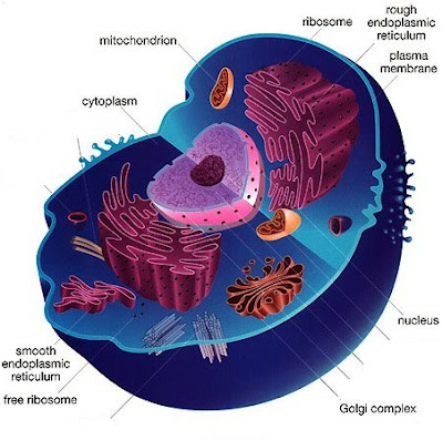 ... Cell - http://www.uvm.edu/~inquiryb/webquest/fa06/mvogenbe/Animal-Cell