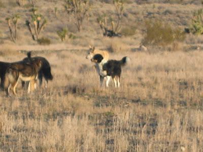 Shooting Feral Dogs Australia