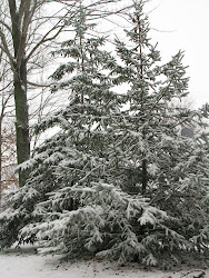 Sugar Frosted Pines