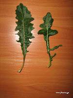 Χηροβότανο-Helminthotheca echioides (L.) Holub(=Picris echioides)