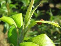 Ωφέλημα έντομα στο βιολογικό περιβόλι