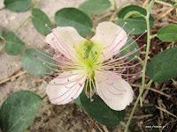 Κάπαρη-Capparis spinosa