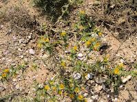 Σκόλυμος-Scolymus hispanicus L.