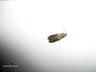 Έντομα που προσβάλουν το σιτάρι στην αποθήκη